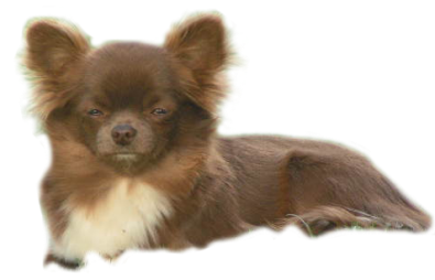 Chihuahua Coton De Tul 233 Ar Elevage Du Royaume D Odin